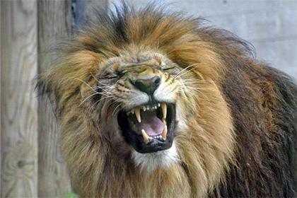 Лев напал на молодую девушку в зоопарке